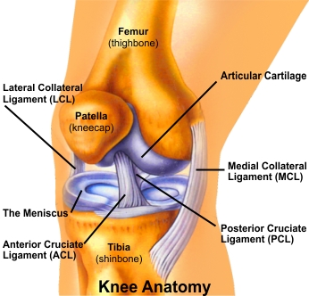 articular cartilage of a long bone is found